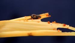 Figure 44.   Corn earworm.