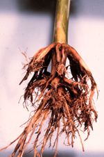 Figure 51.   Root rot.