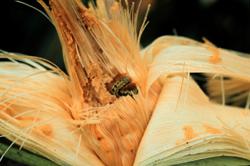 Figure 59.   Corn earworm.