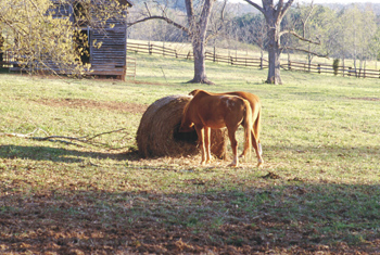 Figure 3. Horses        often refuse to eat the outer areas of weathered round hay bales. The outer        area of this bale was moldy, so only a limited amount of the bale was consumed.