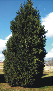 Figure 1. Healthy, mature Leyland cypress. [Photo:        Alfredo Martinez]