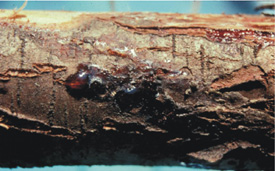Figure 4. Oozing at the site of Seiridium cankers.   [Photo: J. Williams-Woodward]
