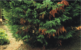 Figure 5. Dark, rust-colored dieback symptoms        of Botryosphaeria (Bot) canker. [Photo: G. Moody]