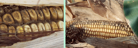 Figure 1. Aspergillus rot symptoms in corn ear 
