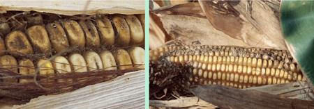 Figure 1. Aspergillus rot symptoms in corn ear   and kernels.