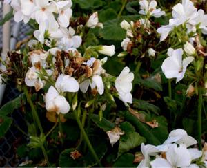 Figura 10. Flores de geranio mostrando s&iacute;ntomas de <em>Botritis</em>. [Foto: A. Martinez]