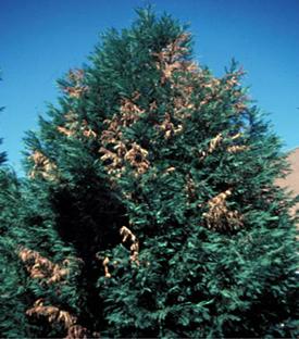 Figura 11. Muerte de las ramas de <ciprés Leyland> causadas por Seiridium canker. [Foto: J. Williams-Woodward]
