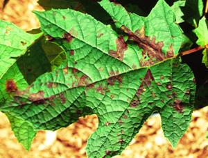 Figura 12. Manchas angulares y de color púrpura se desarrollan a lo largo de las venas causadas por bacteria de una Hortensia  hoja de roble. [Foto: J. Williams-Woodward]