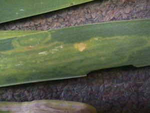 Figura 14. Patrón de machas en forma de anillos en hojas de lila síntoma común de virus. [Foto: J. Williams-Woodward]