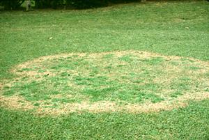 Figura 16. Infección por <em>Rhizoctonia solani</em> en el pasto zoysia. [Foto: L. Burpee]