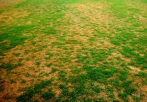 Figura 18. Síntomas de amarillamiento y crecimiento escaso o ralo debido a la enfermedad del decaimiento por Curvularia. [Foto: A. Martinez]