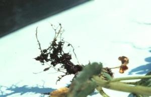 Figura 2. Ra&iacute;ces caf&eacute; obscuras y podridas son caracteristicas de la infecci&oacute;n por <em>Pythium</em> spp. [Foto: UGA Plant Pathology]