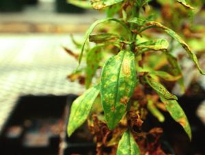 Figura 6. Manchas amarillas y pústulas anaranjadas caracteristicas de la roya de la hierba becerra <snapdragon>. [Foto: J. Williams-Woodward]