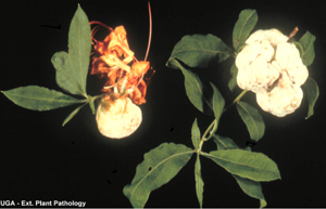 Figura 8. Agallass en las hojas causadas por el hongo <em>Exobasidium</em> spp., en azalea. <br>  [Foto: UGA Plant Pathology]