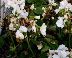 Figure 10. Geranium flowers showing <em>Botrytis</em> blight symptoms. [<em>Photo:</em> 