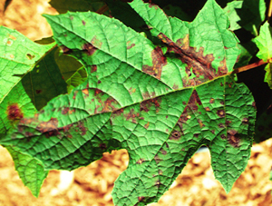 Figure 12. Angular, purplish bacterial leaf spots develop along the leaf veins of an        oak-leaf hydrangea. [<em>Photo:</em> J. Williams-Woodward]