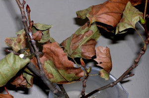 Figure 15. Leaf browning, wilting and curling -- symptoms of drought stress. [<em>Photo:</em>        A. Martinez]