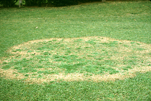 Figure 16. <em>Rhizoctonia solani</em> infection on zoysiagrass. [<em>Photo:</em> L. 