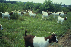Figure 1. Goats prefer high quality browse like honeysuckle, briars and other weedy species and, over time, can completely eliminate them from pastures.