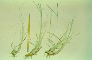 Figure 2. Photo showing carbohydrate-containing rhizomes of bahiagrass that provide energy for regrowth after grazing.