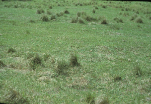 Figure 3. A closely grazed bahiagrass pasture. Note that smutgrass has not been consumed by cattle and likely has a competitive advantage for light and water.