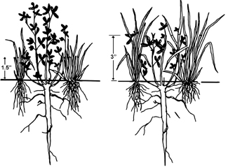 Figure 4. Diagram depicting effects of grazing pastures to 1.5 inch stubble height (left) versus 3 inch stubble height (right) on grass and clover regrowth. From Blaser <em>et al.,</em> 1986, Virginia Polytechnic Institute. Bulletin 86-7.