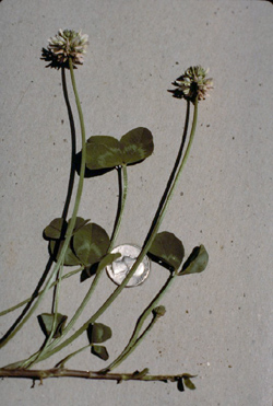 photo of white clover showing runners