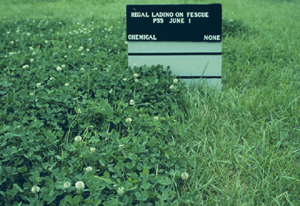 Photo of field trial results showing the difference between chemical application and no treatment when growing Regal landino on fescue.