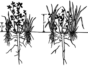 Illustration comparing clover height. When grazed at 1.5 inches, clover becomes much taller than grass. When grazed at 3 inches, grass becomes taller than clover