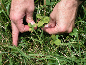 Photo of clover plant  that is yellowed because it is infected with a virus.