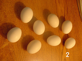 Notice the difference in color of the white eggs when photographed indoors (1) or outdoors (2). This is due to the difference in color temperatures of the fluorescent lights used indoors and daylight.