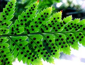 Back-light can be used to create a dramatic image, as in this photo of leather leaf fern.