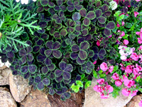 To portray Oxalis in the garden, this picture was taken so the plant was framed with other comple-menting foliage and flowers as well as decorative stones. This photo can be used to illustrate plant habit, size, texture and appearance. It also demonstrates use of Oxalis in the landscape and shows successful combinations with other plants. This photograph can be used in a landscape portfolio.