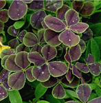 Close-up photo of the Oxalis foliage is suit-able for slide presenta-tions. The purpose is to display texture, shape and color.