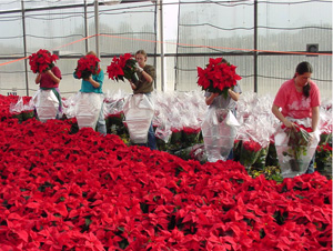 "Notice the way the picture frames women placing poinsettia plants in sleeves. The foreground shows a ""sea"" of color, which creates instant interest and provides the entry point. In the middle, plant handlers are captured in different steps of the process, while in the background, the eye rests on the finished product."