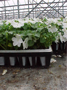 The loss of dimension is particularly obvious in this closeup of a flat of impatiens. Not only is there no interest in the foreground, there is no back-ground either. The eye just goes over the white blooms and gets lost in the crisscross pattern of the greenhouse structure above.