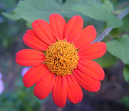 A single bright red flower photographed against a green background. Cold colors (green, blue) and warm colors (yellow, orange, red) almost always contrast. Cold colors recede while warm colors advance.