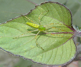 A light subject will have more impact if placed against a dark background and <em>vice-versa.</em> The spider on the leaf would stand out more if the leaf were darker. The picture was taken in direct sunlight at noon; it would have been better if the light were diffuse.