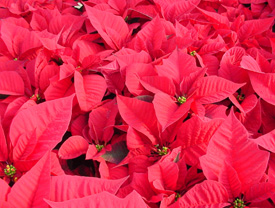 Low contrast and high color of the poinsettia blooms achieve the desired effect.