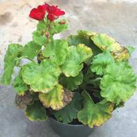 In geranium the older foliage is affected first, starting as chlorotic spots scattered around the leaf and on the leaf margin, later turning nicrotic (brown and dead). Entire leaves turn yellow and necrotic in advanced toxicity.