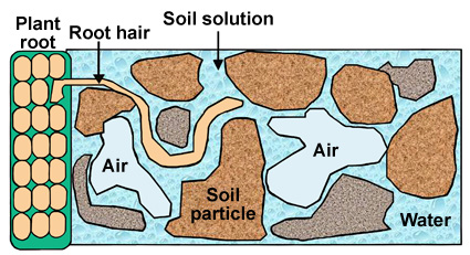 Figure 4. Plant roots are exposed to the substrate solution. The root hairs, extensions of the root epidermal cells, are the interface between the plant and the substrate solution. Roots are very sensitive to pH. The acidity or basicity of the substrate solution determines how well the roots can take up nutrients and how well the plant can grow.