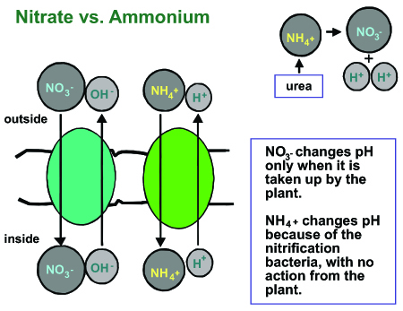 Figure 8. Nitrate and ammonium ions change substrate pH through different modes of action.