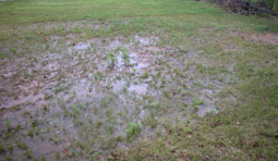 Turfgrass damage due to excessive wet or low areas.</strong> [Photo: Alfredo Martinez]