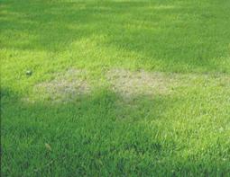 Drought injury. [Photos: Colorado State University and the University of Florida]