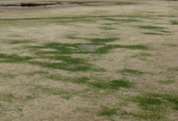 Zoysiagrass affected by cold temperatures. [Photo: Alfredo Martinez]