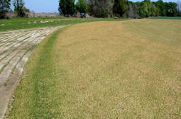 Bentgrass affected by cold temperatures. [Photo: Clint Waltz]