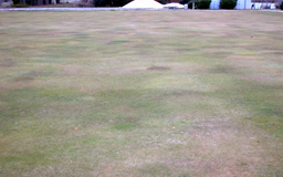 Centipedegrass affected by cold temperatures. [Photo: Alfredo Martinez]