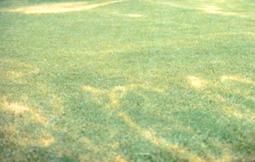 Herbicide damage. [Photo: University of Kansas]