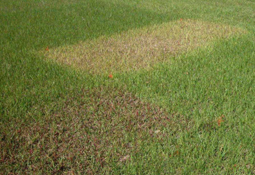 Damage from herbicides on an experimental field. [Photo: Alfredo Martinez]