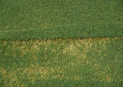 Scalping injury on bentgrass. [Photo: Clint Waltz]